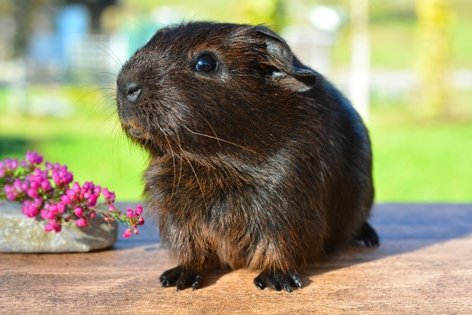 Free Stock Photos Of Guinea Pig Pexels