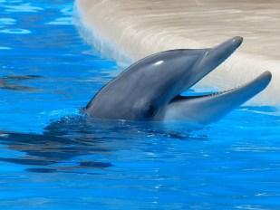 Dolphin Facing Upward