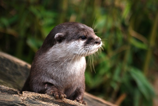 Otter Chiitan Japan