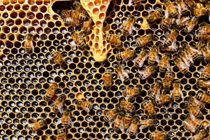 alveare, ape, ape da miele