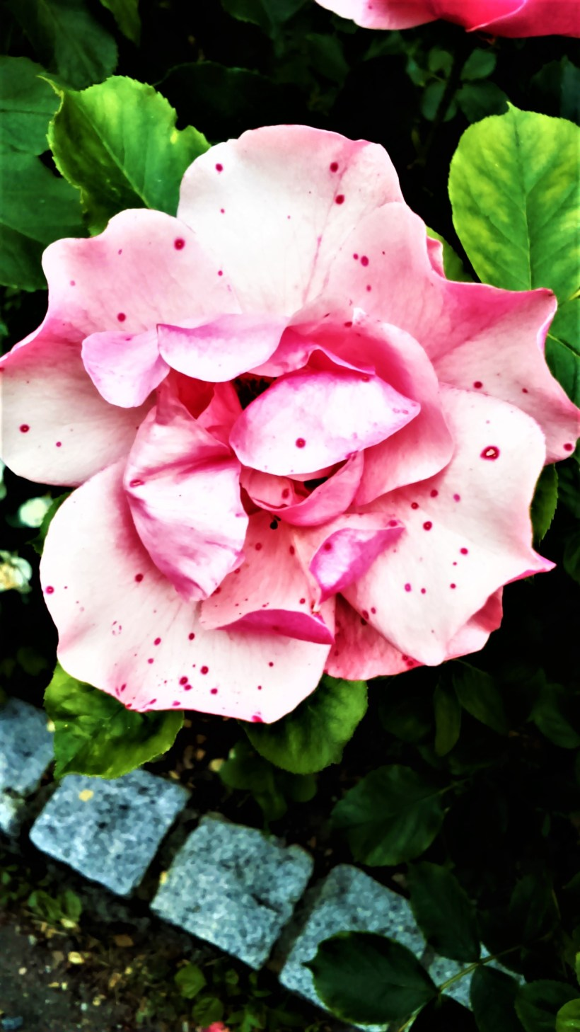 Beautiful Flowers Pink Roses Images Bedwalls