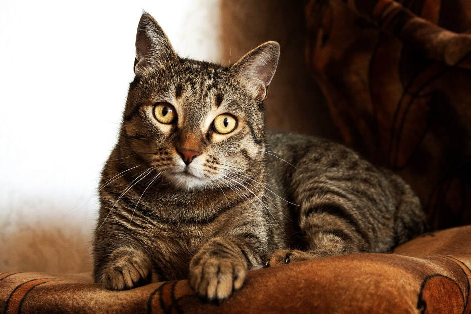 Adult Brown Tabby Cat Free Stock Photo