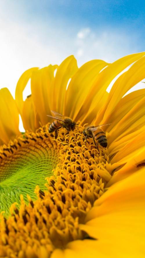 honeybees, two bees on a large sunflower