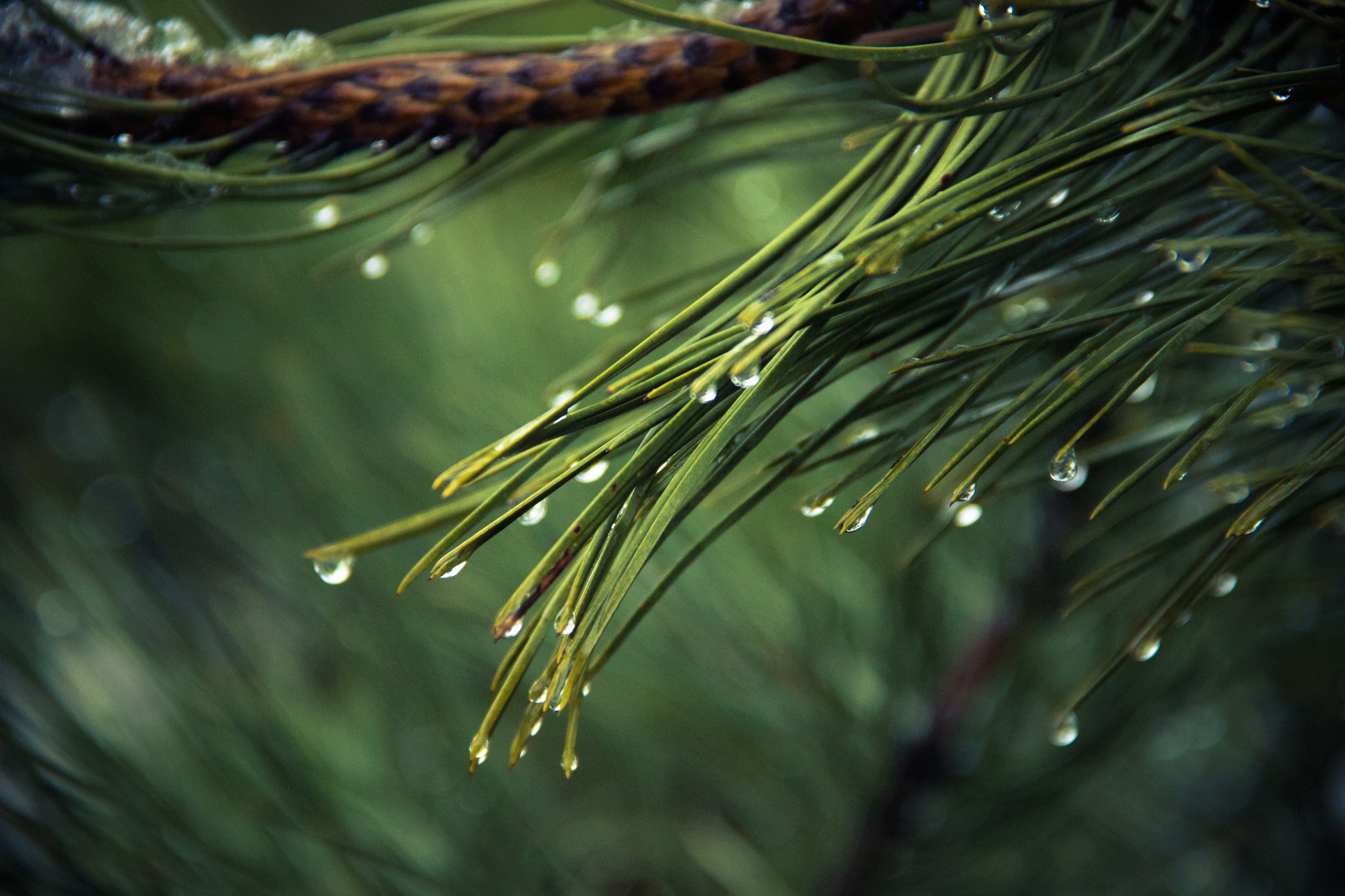 Nature Wallpapers      Pexels      Free Stock Photos Nature wallpaper of nature  raindrops  drops of water  pine