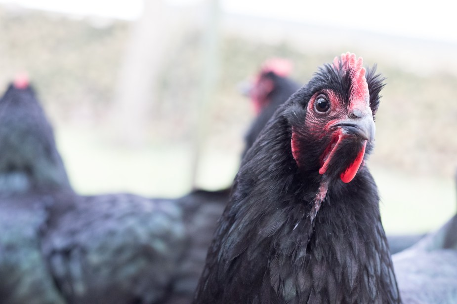 how to raise australorp chickens