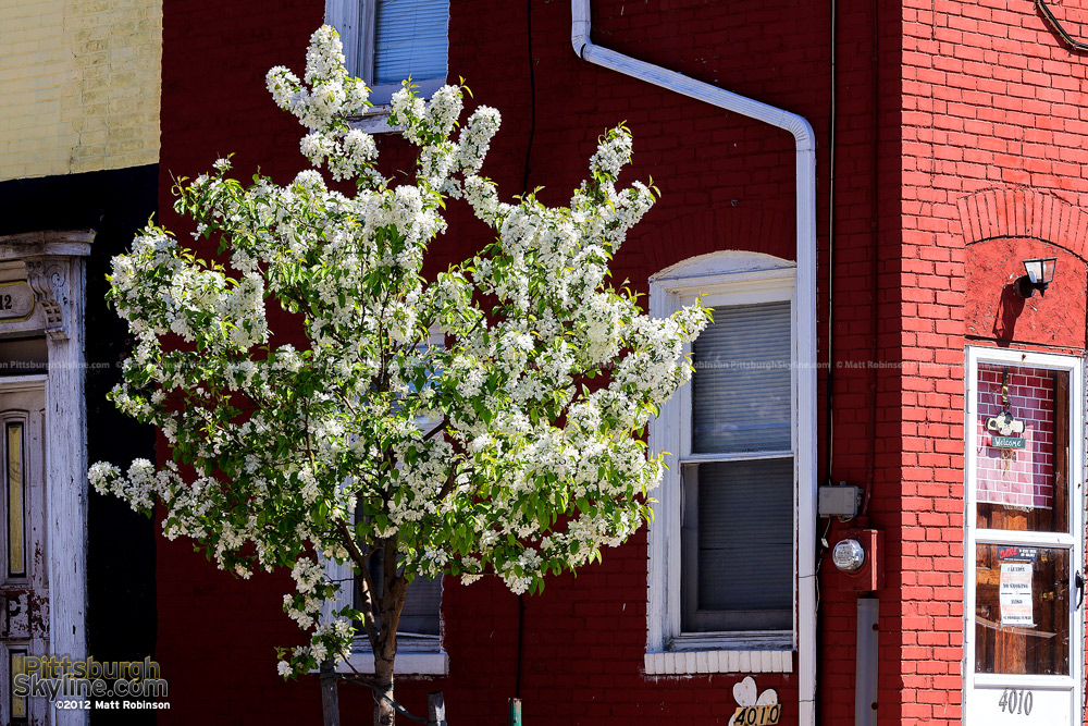 Spring tree blooms with red home