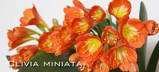 potted blooming Clivia miniata