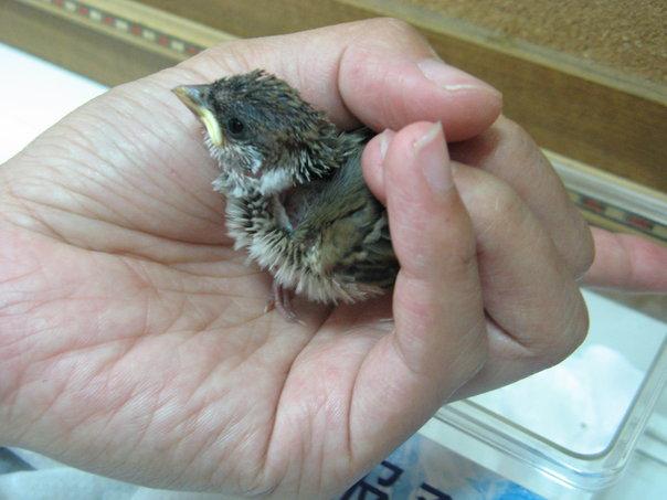 Re: 撿到小麻雀一隻...(後續) - aves   PTT Web