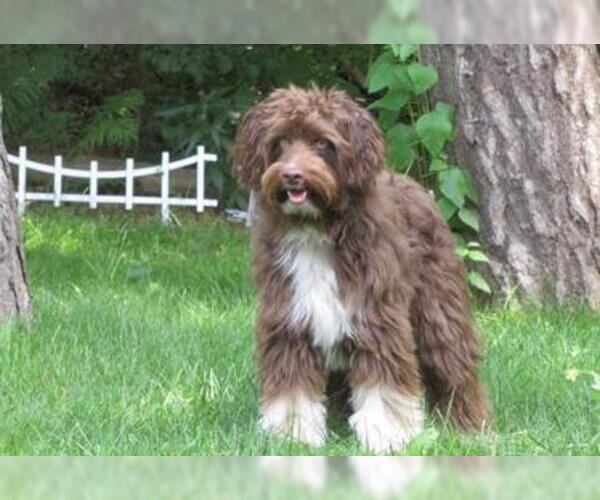 Aussiedoodle Breed Information And Pictures On