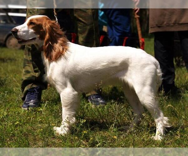 Russian Spaniel Breed Information And Pictures On