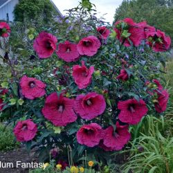Recently On Air Qvc Cottage Farms Giant Hibiscus Flowers | Gardening