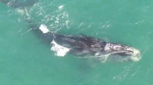 Mort de la baleine Cottontail: le Canada et les É.-U. s'accusent mutuellement