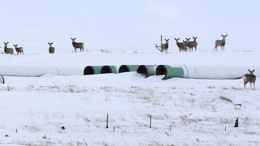 Deer roam around pipes stored for pipeline construction.