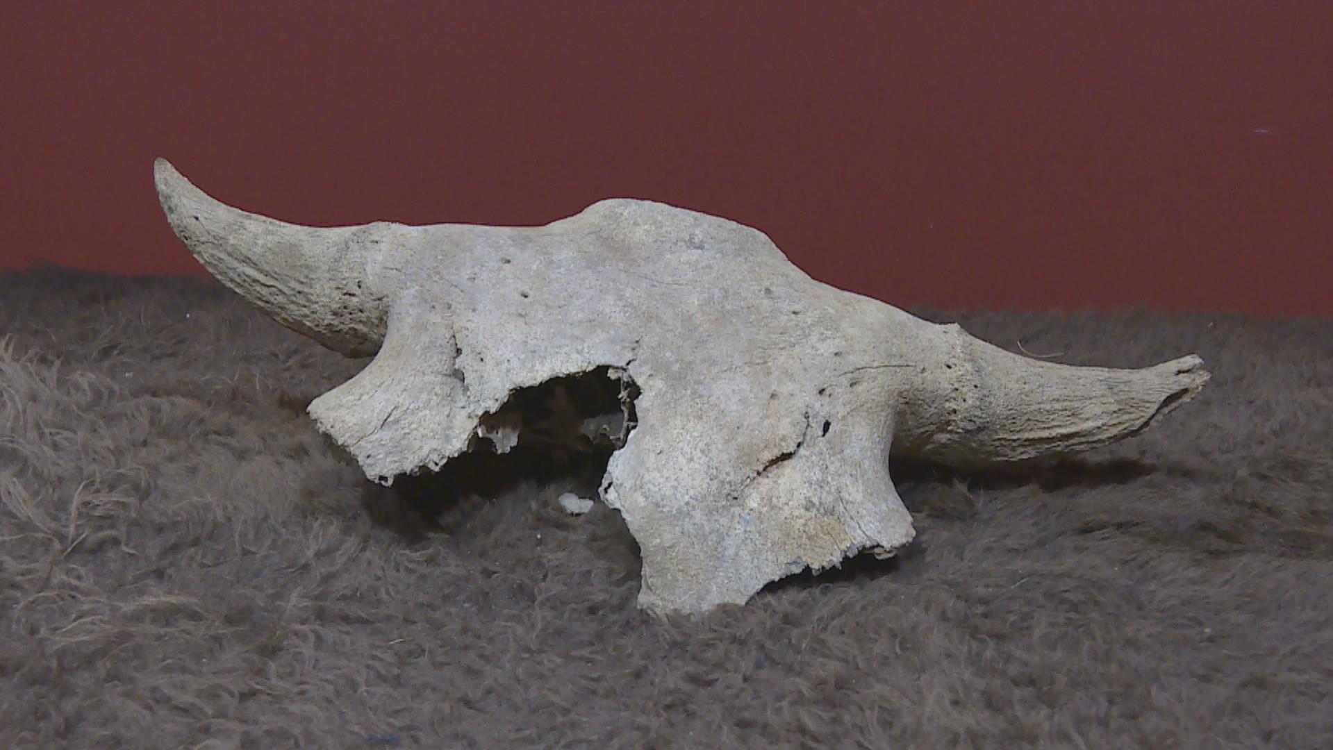 un crane de bison de plus de 2000 ans rendu a une premiere naiton