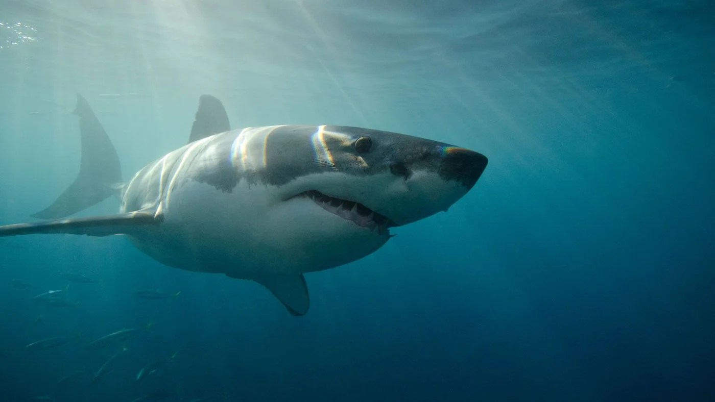 How Fast Can A Great White Shark Swim