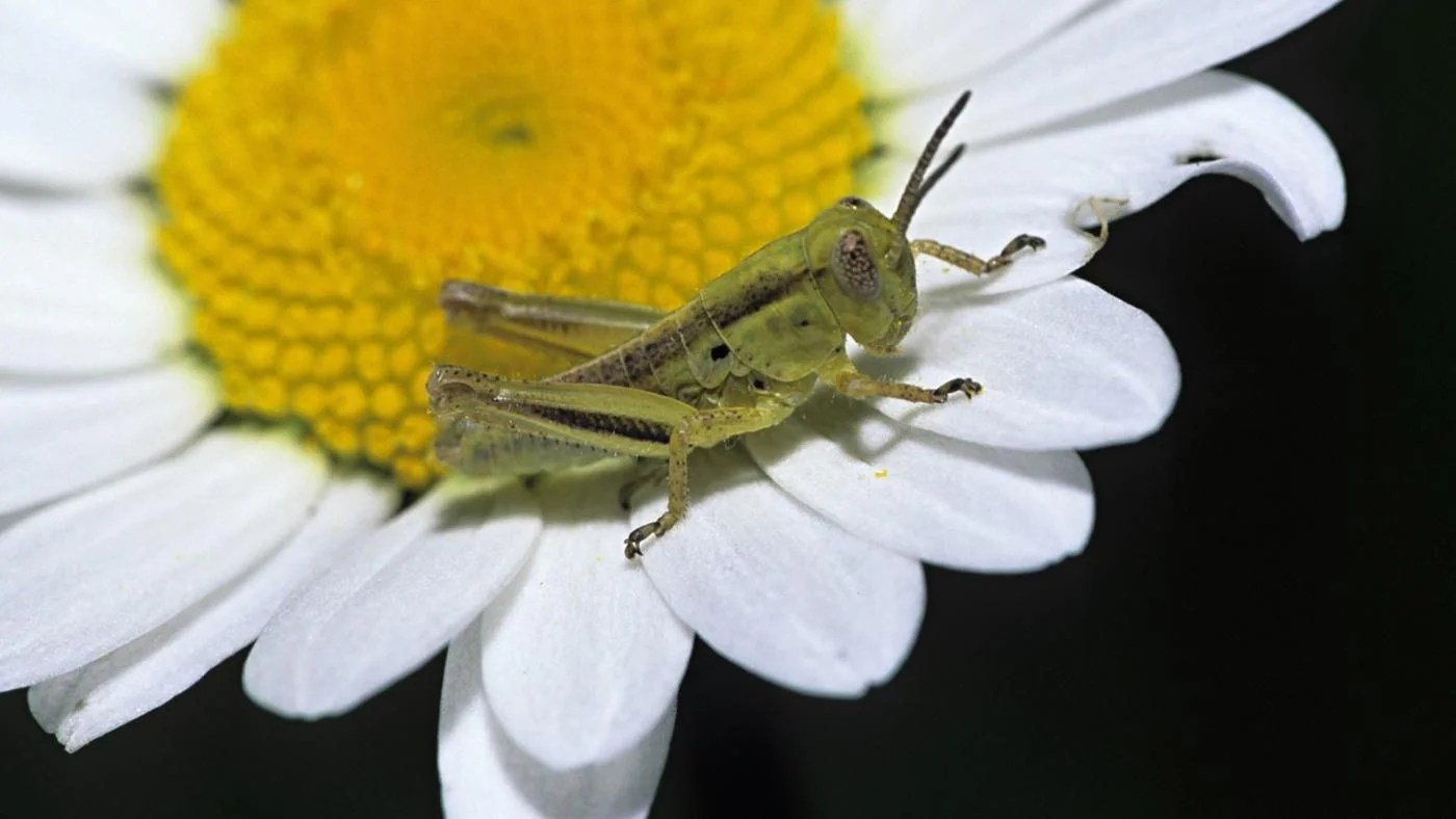 What Are The Stages In The Life Cycle Of A Grasshopper
