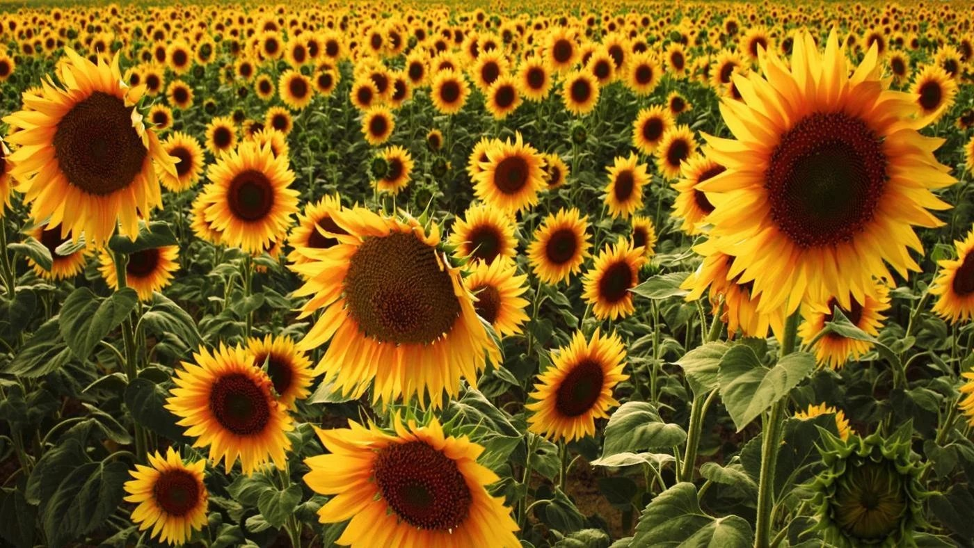 What Are Sunflowers Used For