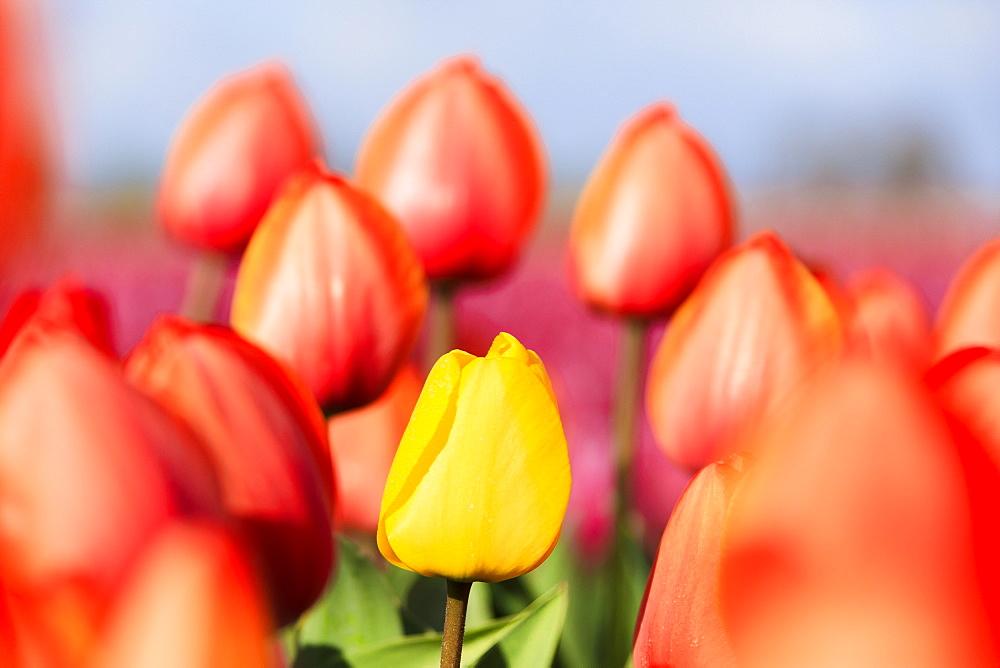 Stock Nature image: yellow tulip