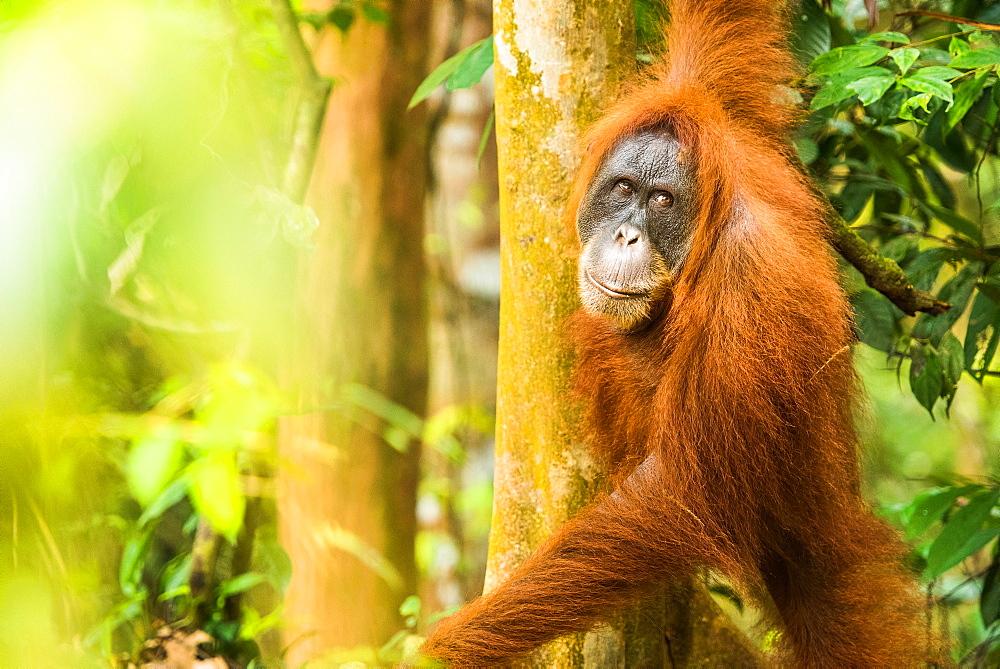 Stock nature photo: Female Orangutan Sumatra