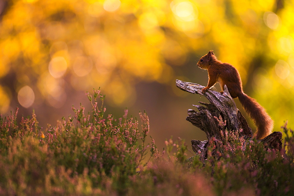 Stunning red squirrel in Autumn image