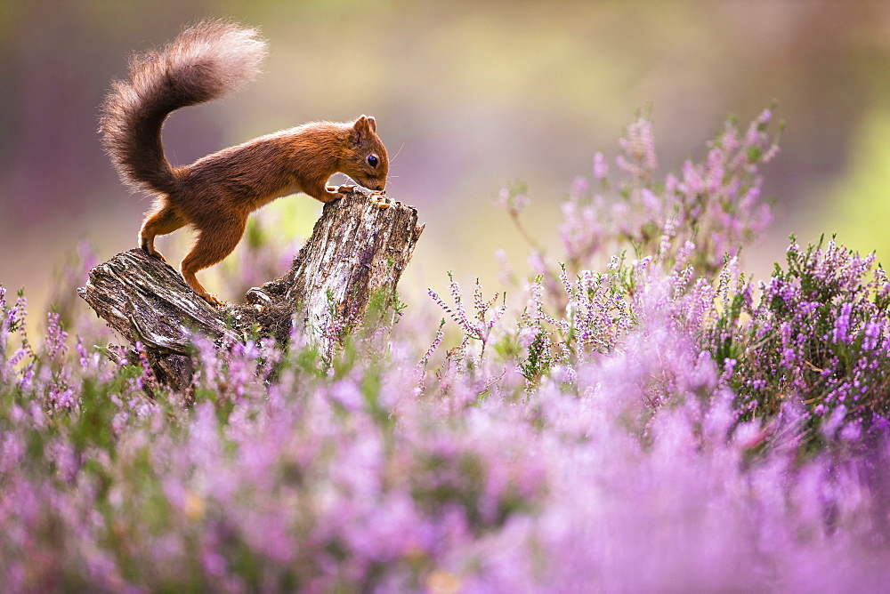 Red squirrel surrounded by heather