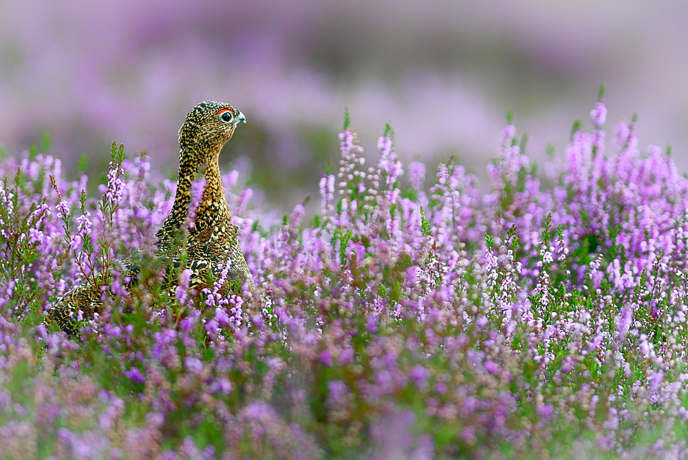 Red grouse hiding in purple heather image