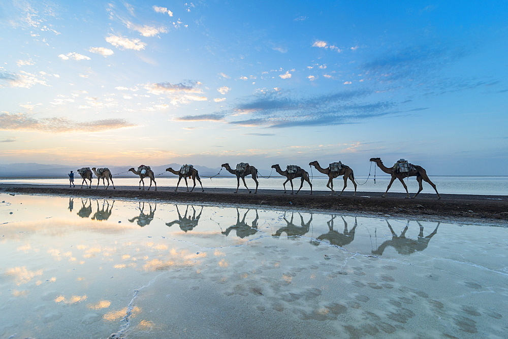 Photo of camels carrying salt in Ethiopia