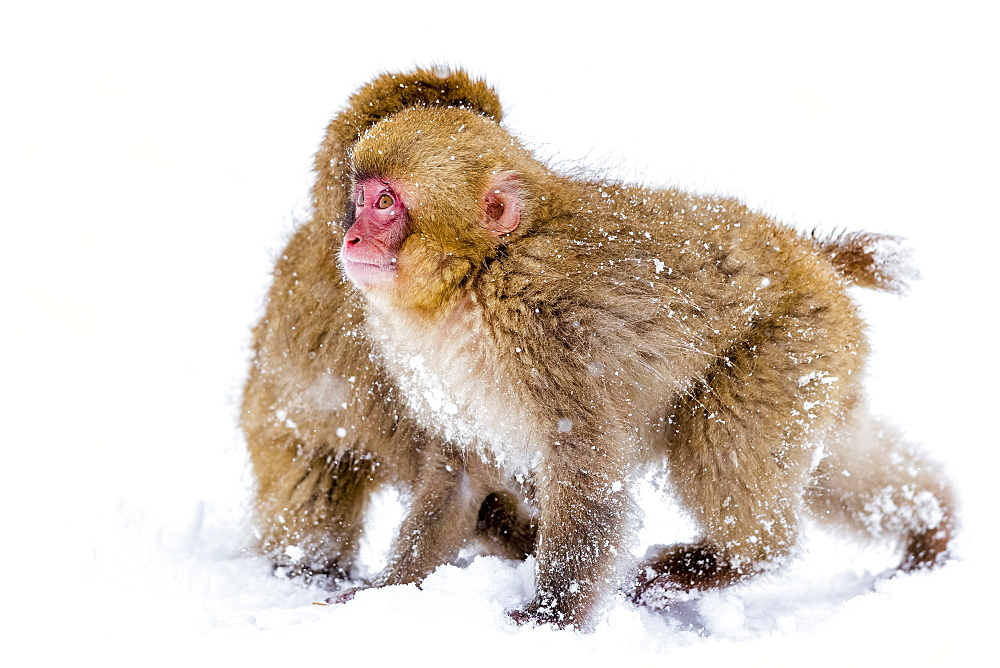 Japanese snow monkeys playing together in the snow