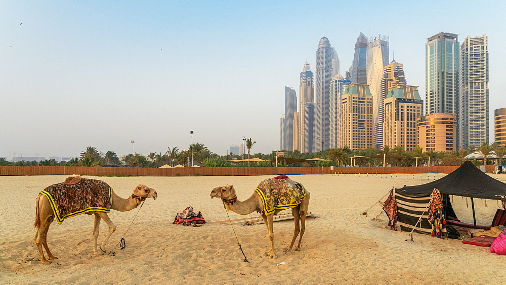 Stock photo of Camels overlooking Jumeirah Beach Residence