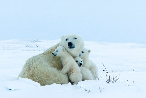 Polar bear mother with triplets, Wapusk National Park, Churchill, Hudson Bay, Manitoba, Canada, North America