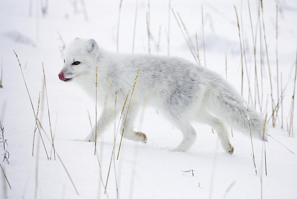 Arctic fox in the wild image