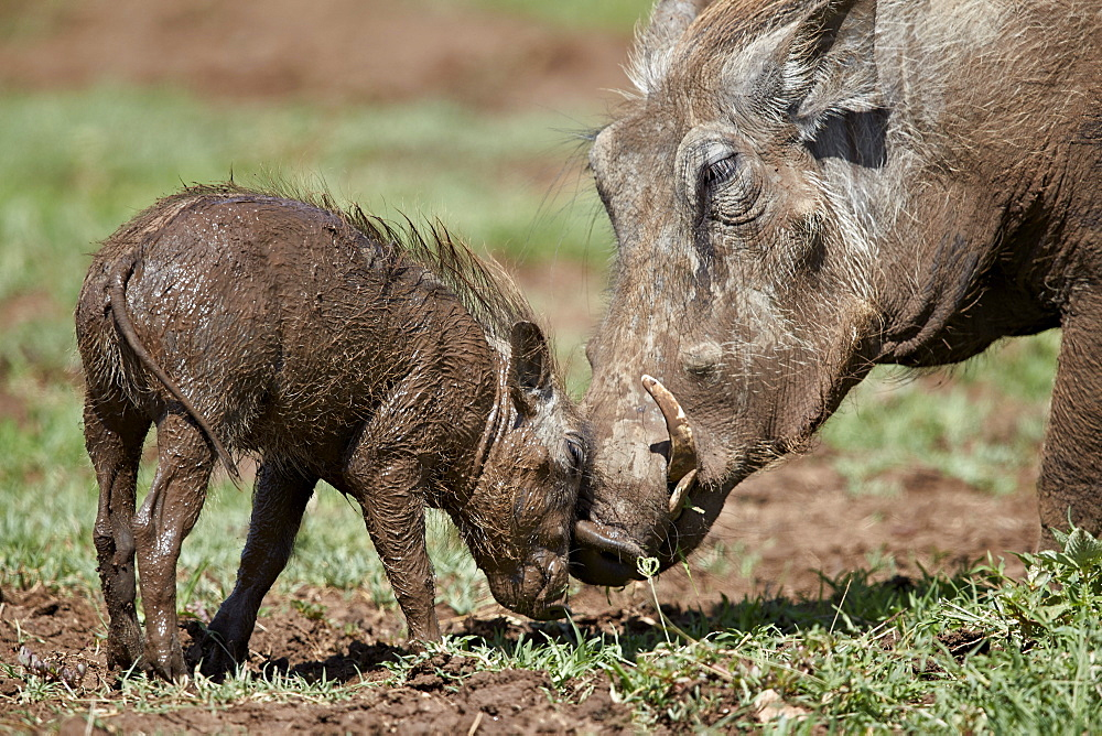 Photo of Warthogs: Mother and piglet