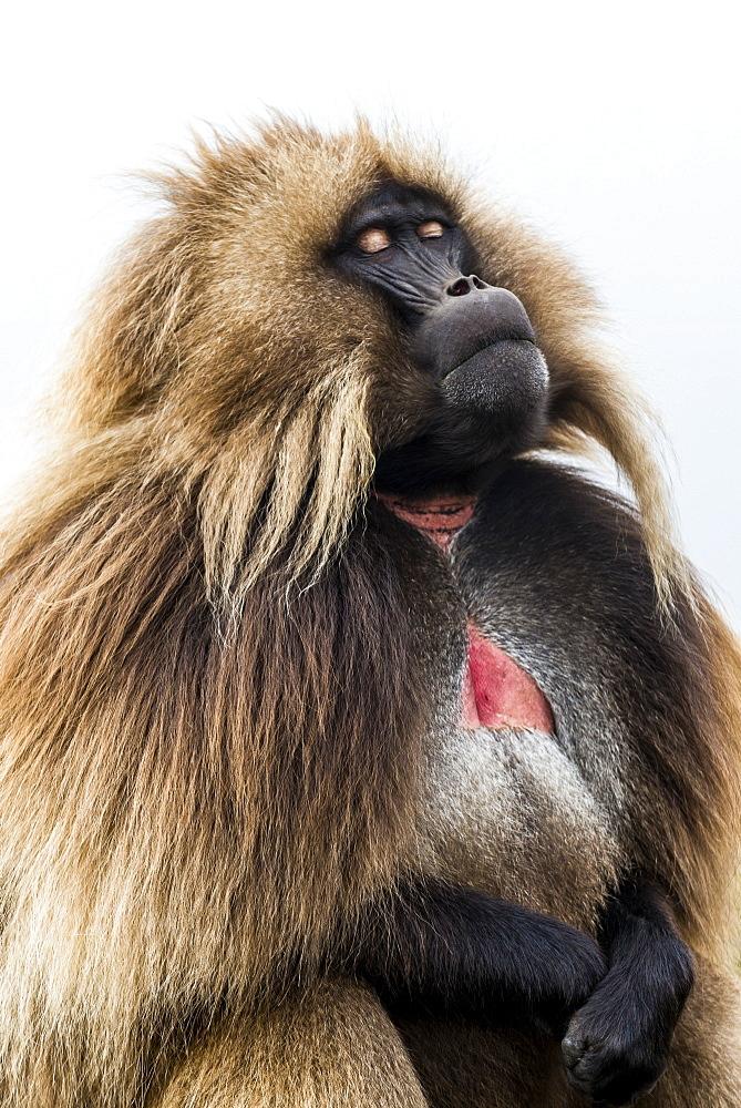 Stock Photo: Male Geladas Monkey