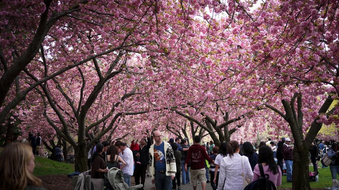 Best Time to See Sakura Matsuri: Cherry Blossom Festival in New ...