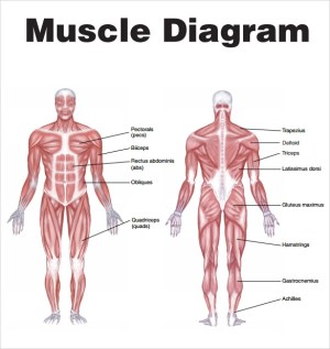 Sample Muscle Chart  7 Free Documents in PDF