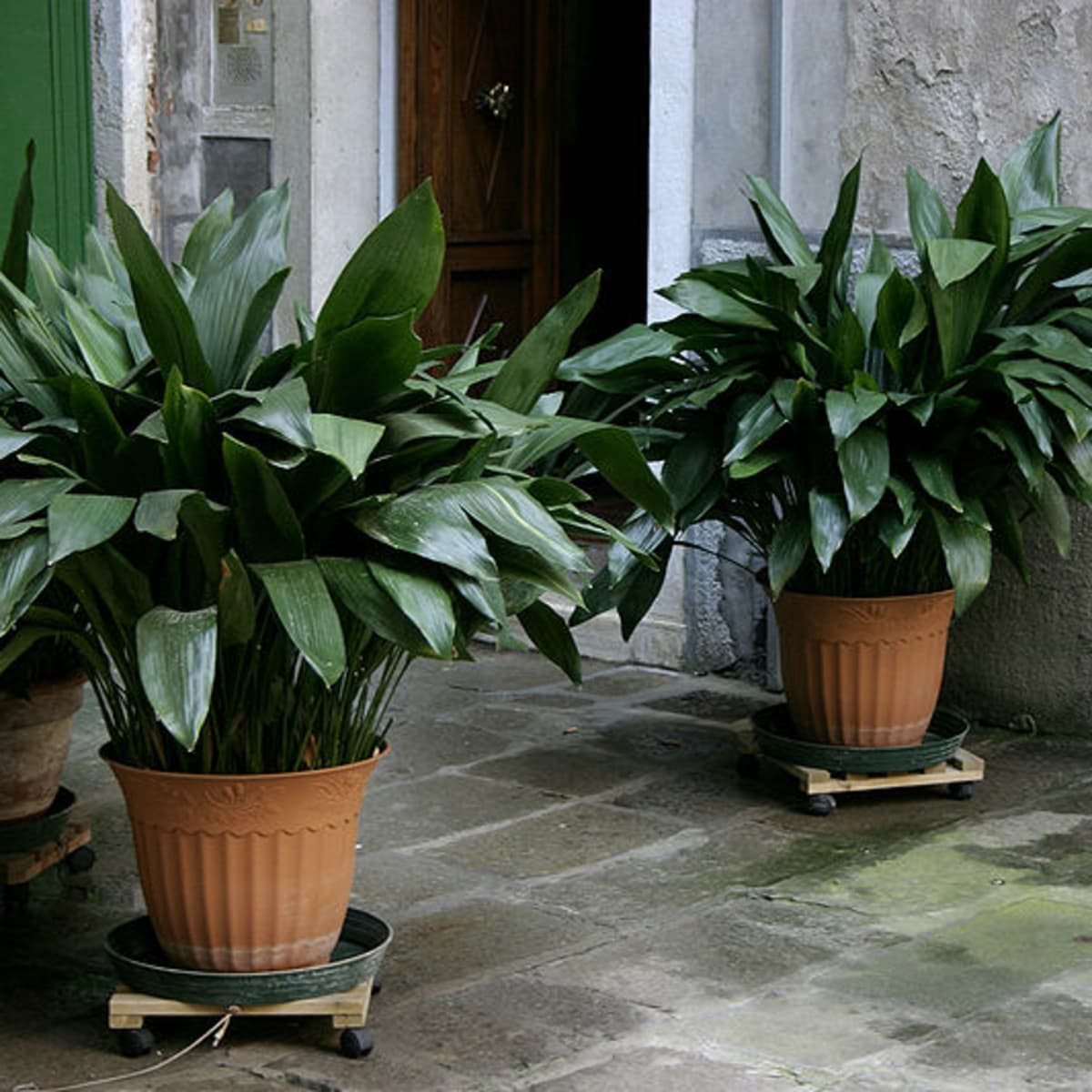 how to grow cast iron plant indoors or