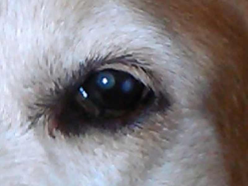 Cholesterol Deposits In A Dog S Eye