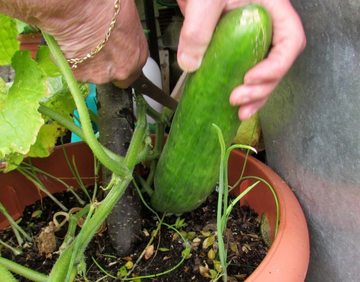 How To Grow Cucumbers In Pots And Containers In The Garden Dengarden Home And Garden