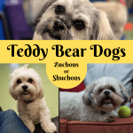 Breed Info Teddy Bear Dogs And Puppies Pethelpful By Fellow Animal Lovers And Experts