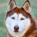 Facts About The Siberian Husky An Excellent Dog Breed Pethelpful By Fellow Animal Lovers And Experts