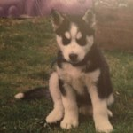 How To Train And Take Care Of A New Siberian Husky Puppy Pethelpful By Fellow Animal Lovers And Experts