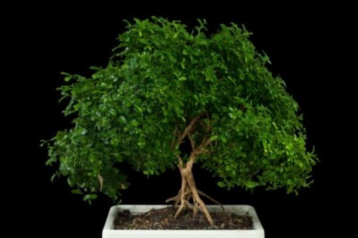 indoor bonsai tree care guide
