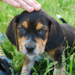 How To Potty Train A Beagle Puppy Pethelpful By Fellow Animal Lovers And Experts