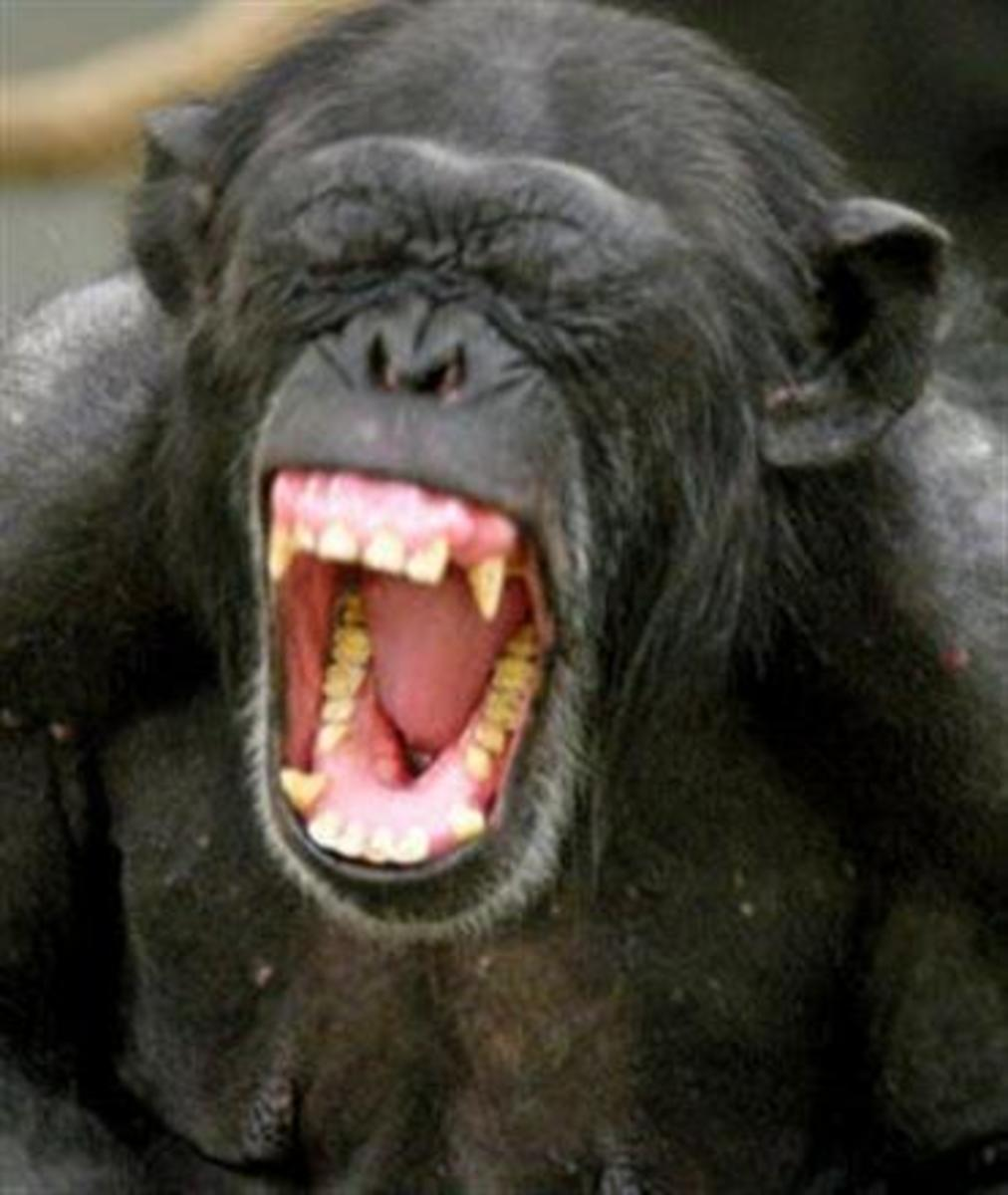 Chimp Attack Hubpages