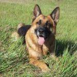 Everything You Need To Know About German Shepherd Puppies Buying Raising Training And Naming Pethelpful By Fellow Animal Lovers And Experts