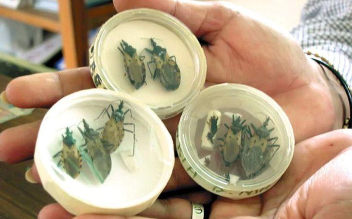 Se Registran 27 Casos Del Mal De Chagas En Mxico Uno En