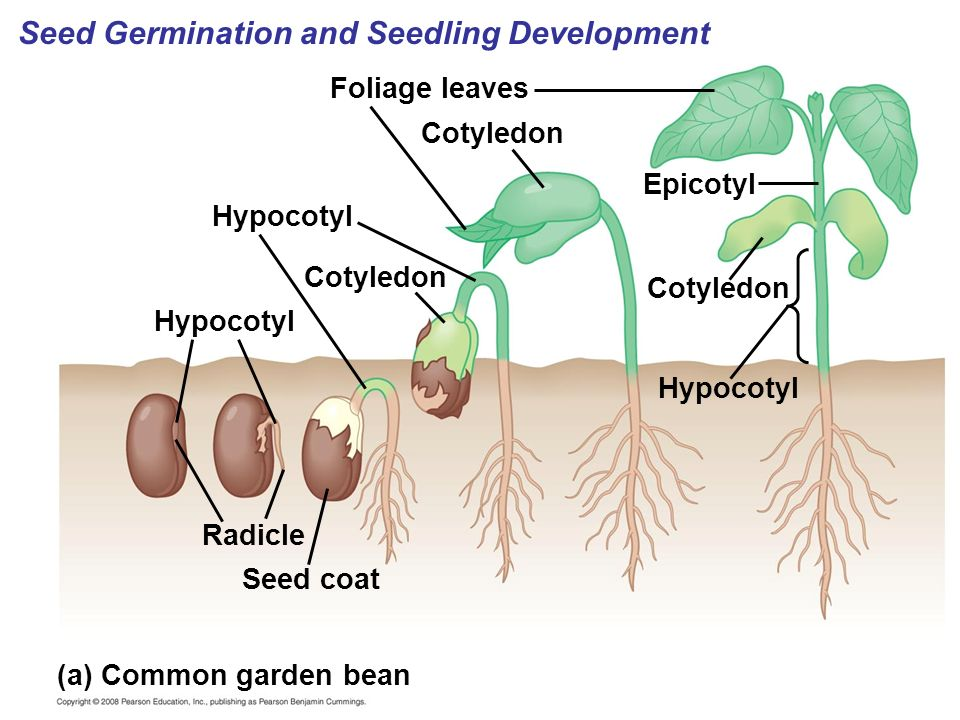 Image result for epicotyl hypocotyl
