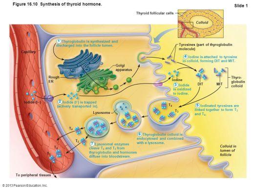 Image result for thyroglobulin thyroid synthesis