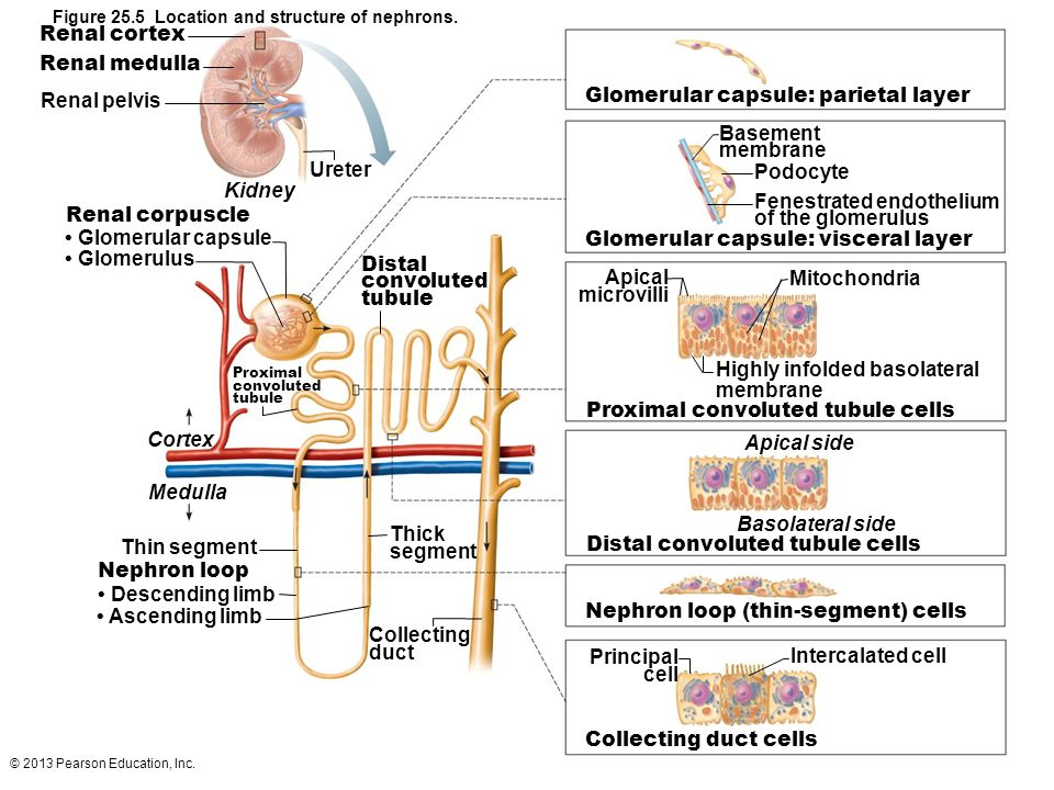 Image result for location and structure of nephrons