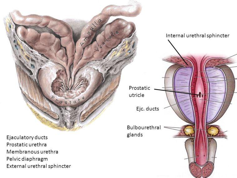 """""""ejaculatory ducts"""" ile ilgili görsel sonucu"""